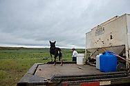 John L. Moore,  calling in cattle, feed truck, Kelpie dog, Lazy TL Ranch, north of Miles City, Montana