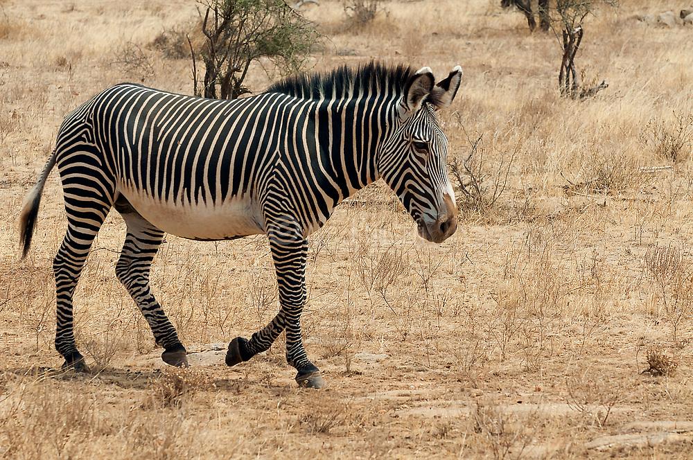 Grevy's Zebra (Equus grevyi) from Samburu National Reserve, Kenya