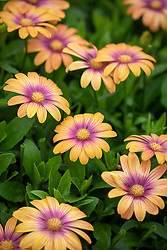 Osteospermum Serenity 'Blushing Beauty'