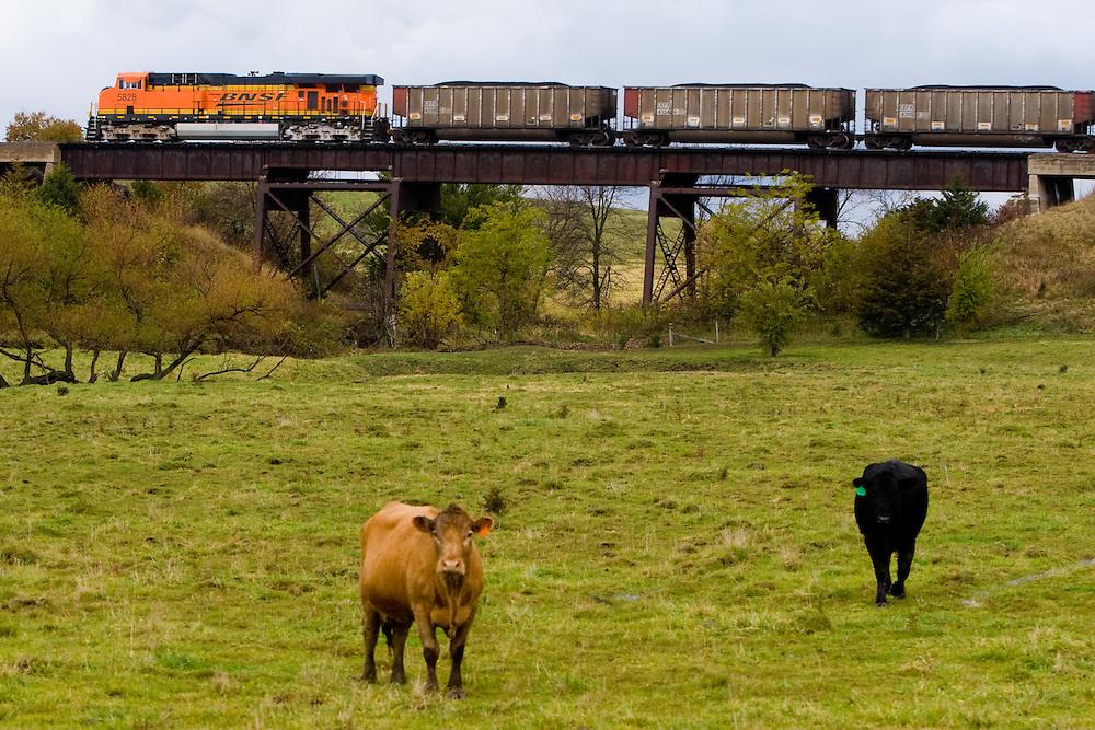 Two cows graze in a green field near Creston, IA, as a BNSF loaded coal train heads east over a trestle.