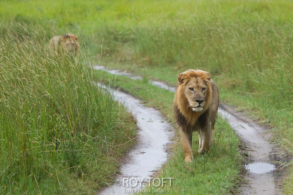A pair of African lions walk along a dirt road, Botswana, Africa