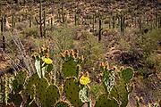 Prickly pear cactus flowers in spring in Saguaro National Park, Arizona