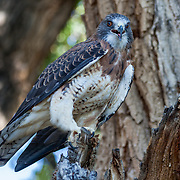 A male Swainson's Hawk (Buteo swainsoni) at Wildlife Rescue, Inc. of New Mexico (wrinm.org)
