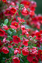 Diascia barberae 'Balromed' syn. Romeo Red - Romeo Group