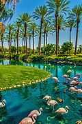 Pink American Flamingos wading (Phoenicopterus ruber) Palm Trees, Pond reflectiions