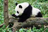 one Panda bear cub playing Bifengxia base reserve Sichuan China