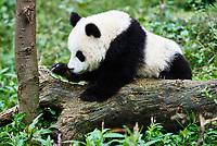 one Panda bear cub playing Bifengxia base reserve Sichuan China