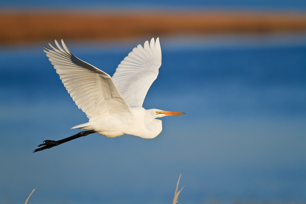 A great egret (Ardea alba) takes flight from a fishing spot at sunset , Chincoteague National Wildlife Refuge, Assateague Island, Virginia.