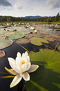 White Water Lily (Nymphaea alba) in flower, Cairngorms National Park,  Scotland