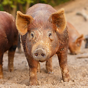 20180102 BR Hogs Pigs