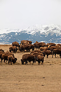 Bison, (bison bison), commercial herd, Crazy Mountains, north of Big Timber, Montana