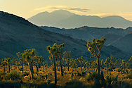 Sunset light on Joshua trees below Mt. San Gorgonio, near Quail Springs, Joshua Tree National Park, California
