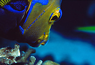 Queen Angelfish (Holacanthus ciliaris) Bonaire