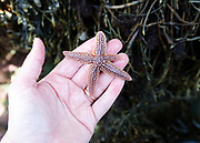 Northern Sea Star (Asterias amurensis)