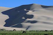 GOBI DESERT, MONGOLIA..08/24/2001.Gobi Gurvansaikhan National Park..Horses at Khongoryn Els sand dunes..(Photo by Heimo Aga)