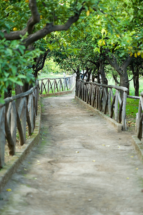 Path through a lemon grove, Sorrento, Italy.