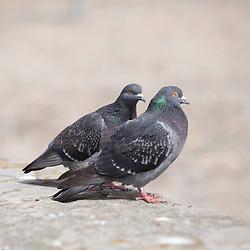 Pigeons in Copenhagen