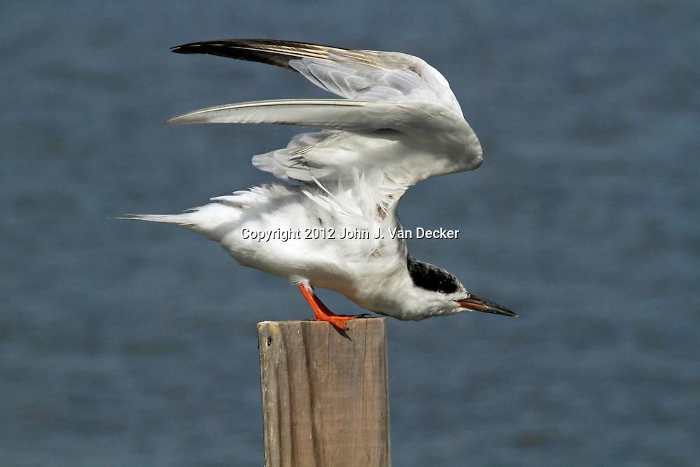 A Forster's Tern, Sterna fosteri, stretching its wings. Richard DeKorte Park, Lyndhurst, New Jersey, USA