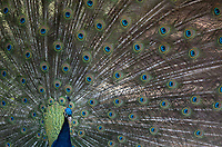 The brilliant blue of a peacock is iridescent in the sunshine.