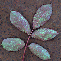 Leaf of fresh spring Rose or Rosa with green and magenta markings lying face down on rusty metal sheet