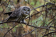 Great gray owl in a lodgepole pine forest in summer. Yaak Valley in the Purcell Mountains, northwest Montana.