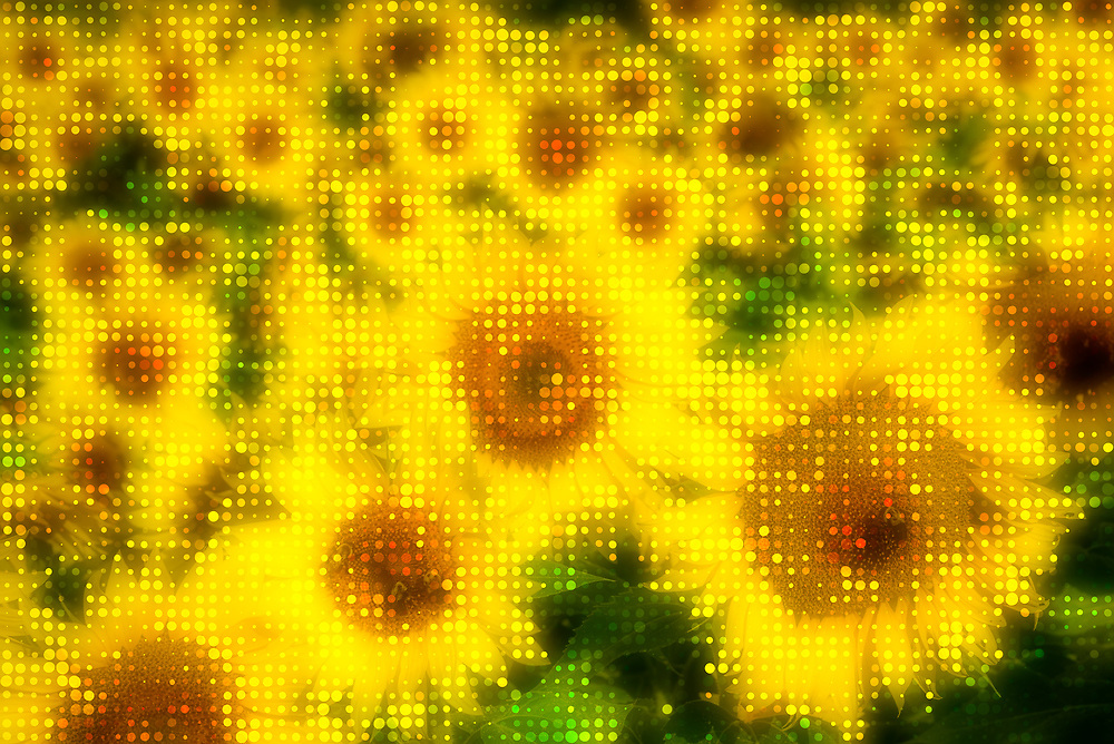 Stylized early morning composition from a field of sunflowers on  Hwy 311 in North Carolina.