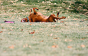 SHOT 12/25/2007 - Tanner, a three year-old male Vizsla rolls in the grass playfully while chasing after a frisbee in a park in Albuquerque, N.M. The Hungarian Vizsla (pronounced VEEZH-luh (zh as in vision)), is a dog breed originating in Hungary. Vizslas are known as excellent hunting dogs, and also have a level personality making them suited for families.The Vizsla is a medium-sized hunting dog of distinguished appearance and bearing. Robust but rather lightly built, they are lean dogs, have defined muscles, and are similar to a Weimaraner but smaller in size. .(Photo by Marc Piscotty/ © 2007)