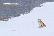 A coyote (Canis latrans) rests in the snow along the Madison River in Yellowstone National Park, Wyoming.