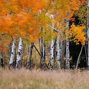 Autumn wind blows through the leaves of an aspen grove near Oxbow Bend in Grand Teton National Park, Wyoming.