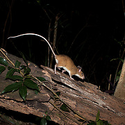 The red spiny rat (Maxomys surifer) is a species of rodent in the family Muridae. It is found in Cambodia, Indonesia, Laos, Malaysia, Myanmar, Thailand, Singapore and Vietnam.