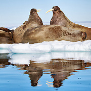 Walruses (Odobenus rosmarus) resting on ice, with two large individuals facing off just before the one on the right stabbed the other with his tusks.