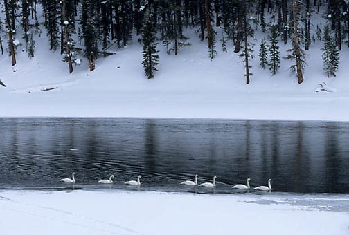 Trumpeter Swan, (Cygnus buccinator) Yellowstone National Park. Madison River.