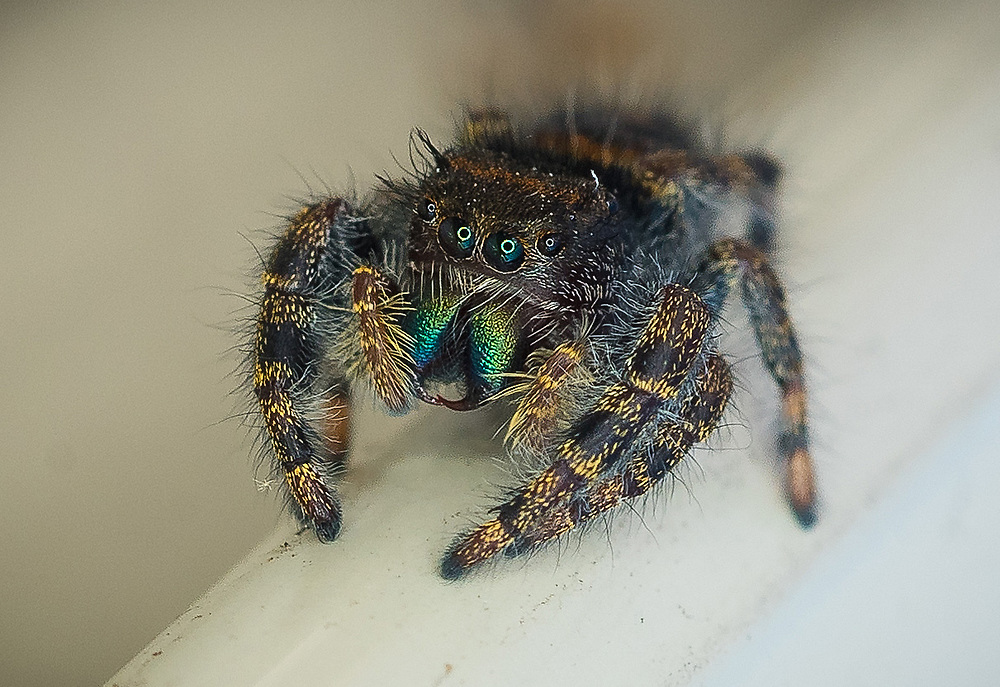 jumping spider photographed with  flash ring attached to macro lens. (Sam Lucero photo)