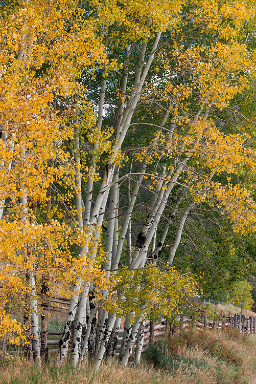 A stand of aspen trees I found on the side of the road in a mountain town.