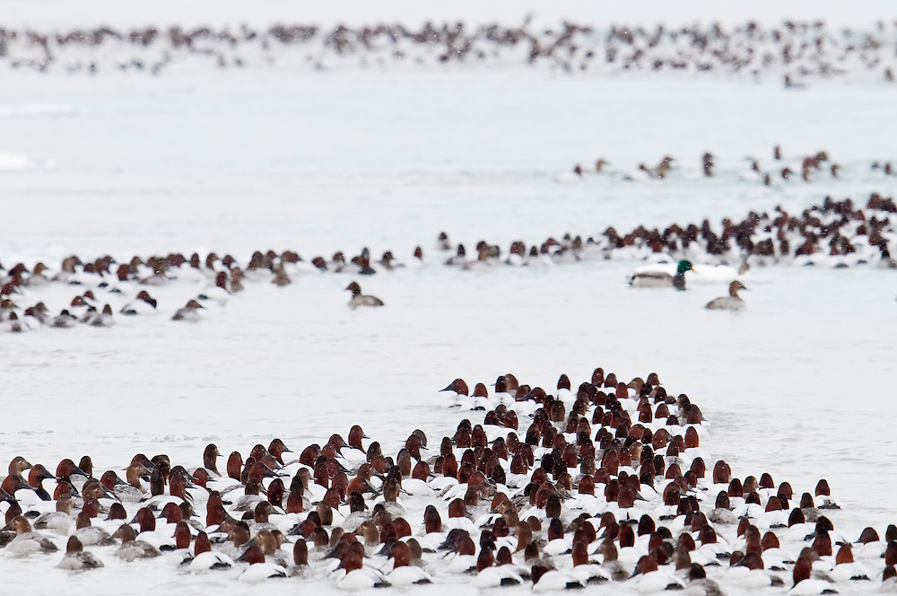 Canvasbacks, Aythya valisineria, St. Clair River, Michigan