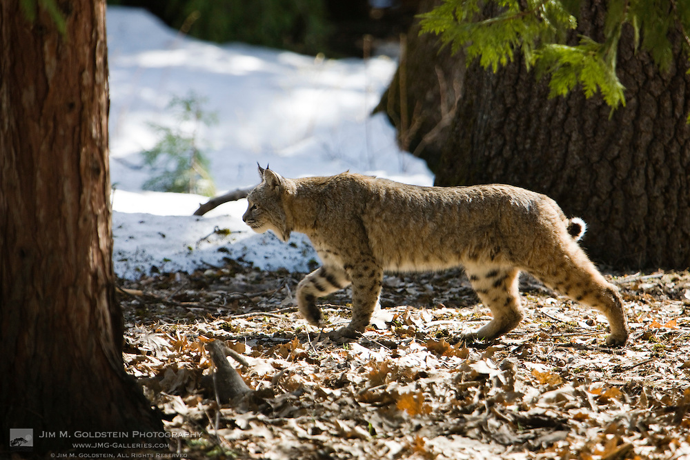 A bobcat (Lynx rufus) stalks prey in a snowy meadow in Yosemite Valley