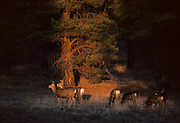 Mule Deer, Deer, Zion National Park, Utah, Zion