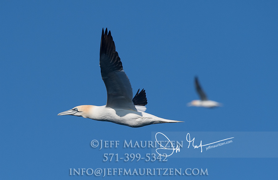 Two Northern gannets in flight.
