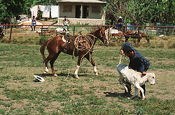 Rodeo in Cuba; with calf being tied up and horse in the background,