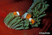 common clownfish or false clown anemonefish, Amphiprion ocellaris, in magnificent sea anemone, Heteractis magnifica, Bali, Indonesia