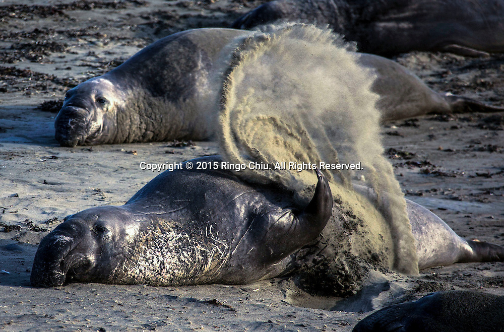 Elephant Seals rest on a beach at Piedras Blancas near San Simeon California Coast in San Simeon, California, the United States, Sunday, August. 16, 2015.