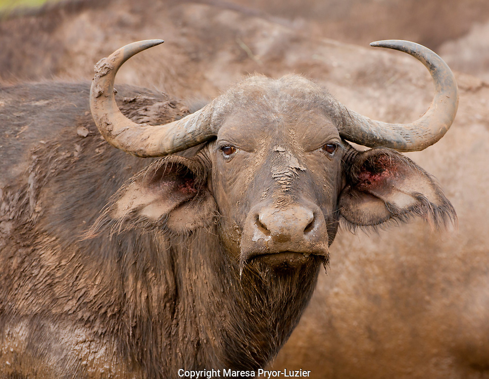 Buffalo cow<br /> Water Buffalo<br /> Syncerus caffer<br /> Hluhulwe Game Reserve<br /> South Africa