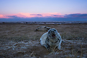 A shedding grey seal pup (Halichoerus grypus) says hello at sunset on Donna Nook beach in Lincolnshire, UK.