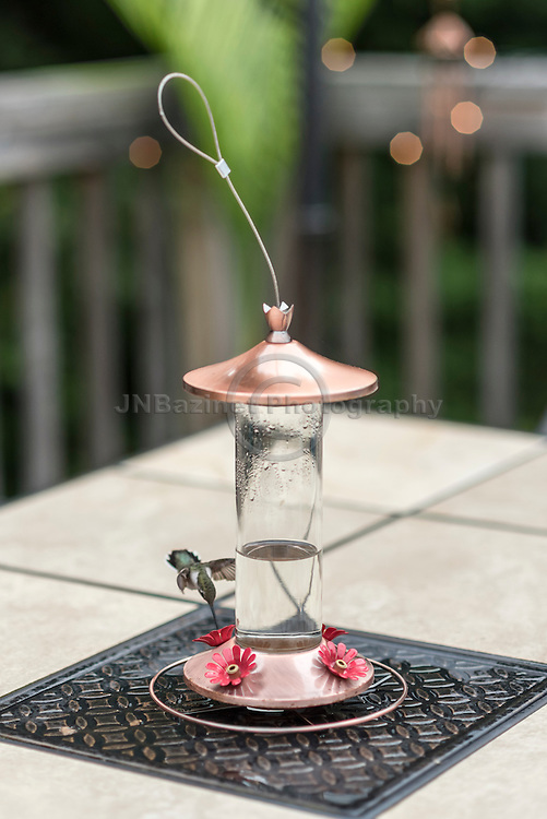 North American female Ruby-throated hummingbird targets feeder on patio table.