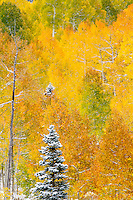 Fresh new snow decorates an autumn conifer & aspen landscape in the Uncompahgre Range & wilderness; Uncompahgre National Forest, Owl Creek Pass, Colorado