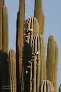 Cardon cactus, world's tallest cactus species, flowers on Isla San Esteban; Sea of Cortez, Baja, Mexico.