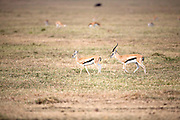 Courting Thompsons Gazelles, Ngorongoro Crater, Tanzania.