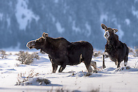 Spielende Elche im Yellowstone Nationalpark, USA