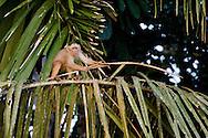 White-fronted capuchin monkey, Peruvian Amazon rainforest