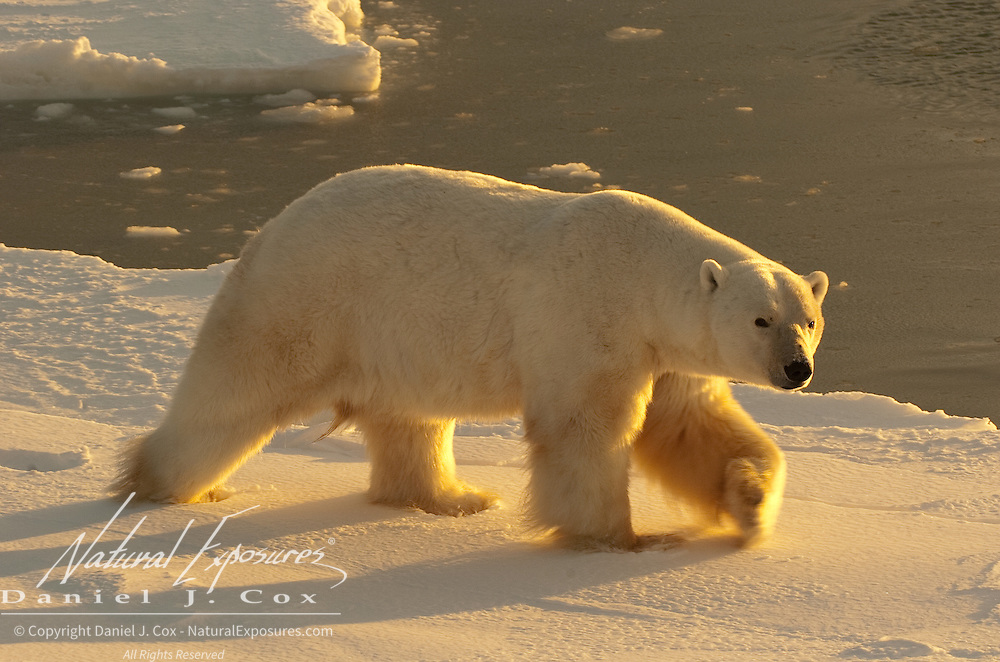 A male Polar Bear wanders the edge of Hudson Bay at Cape Churchill near Churchill, Manitoba, Canada.